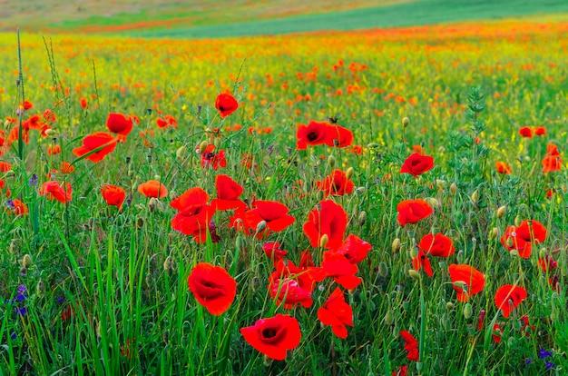 Bloei wilde rode papaverbloemen met een aardig onduidelijk beeld bokeh op de achtergrond van groen gras