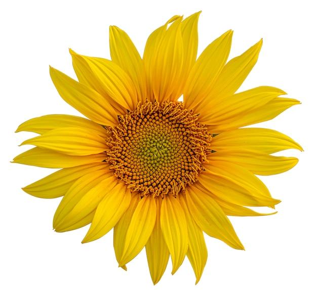 Bloeide zonnebloemen op een witte achtergrond