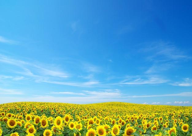 Bloeiend gebied van zonnebloemen op blauwe hemel