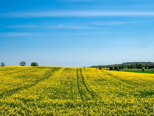 Bloeiend geel veld op een heuvel onder een heldere blauwe hemel