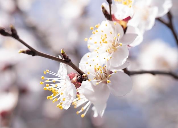 Bloeiend in het voorjaar, abrikoos bloeit soft focus