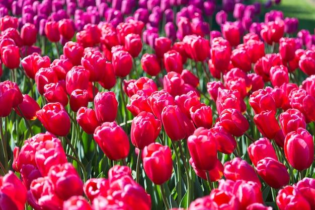 Bloeiend kleurrijk tulpenbloembed in openbare bloementuin in nederland.