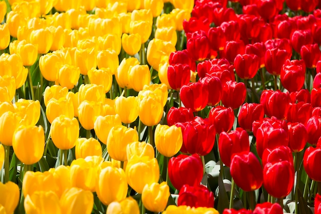 Bloeiend kleurrijk tulpenbloembed in openbare bloementuin