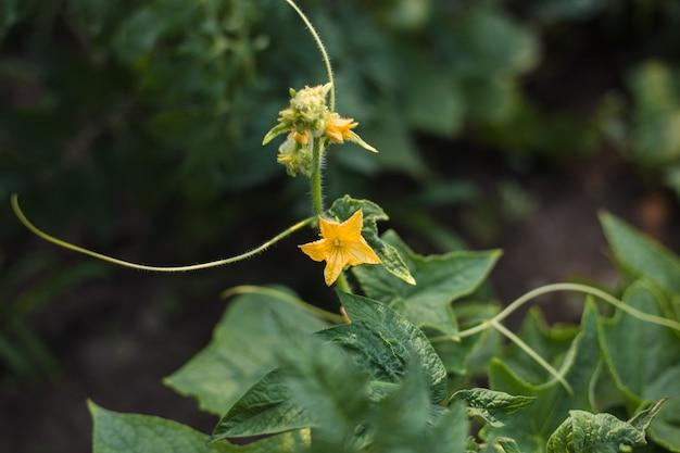Bloeiend met gele bloemen, zijn komkommerplanten vastgebonden in de tuinboerderij. landbouwconcept. bio product