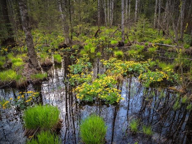 Bloeiend moeras in de zomer, diep water bos met geel bloeiende planten