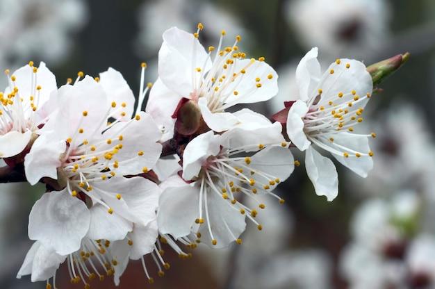 Bloeiend takje van kersenboom