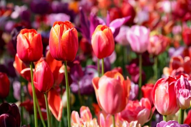 Bloeiend tulpenbloembed in keukenhof-bloementuin, nederland