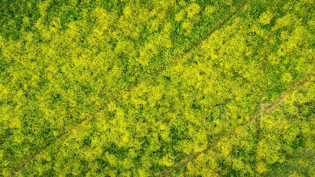 Bloeiend veld van gele raketplanten met luchtfoto van bandensporen direct erboven
