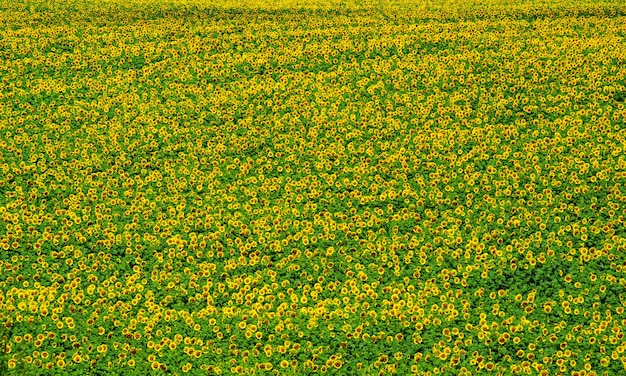Bloeiend veld van zonnebloemen