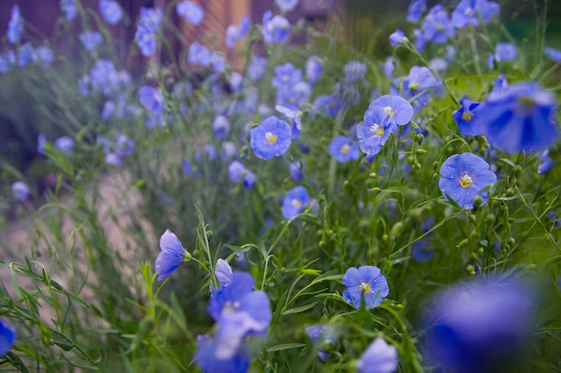 Bloeiend vlas in de ochtend. blauwe bloemen