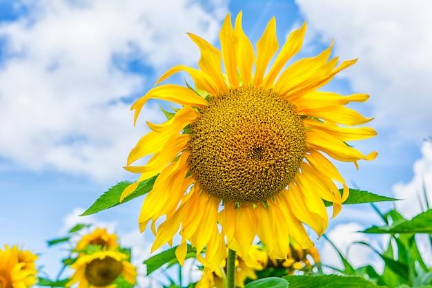 Bloeiend zonnebloemengebied over blauwe hemel