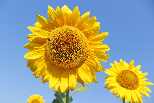 Bloeiend zonnebloemgebied met bij in zonnige de zomerdag