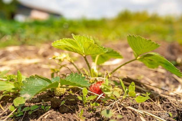Bloeiende aardbei plant in het veld op een biologische boerderij. kopieer ruimte