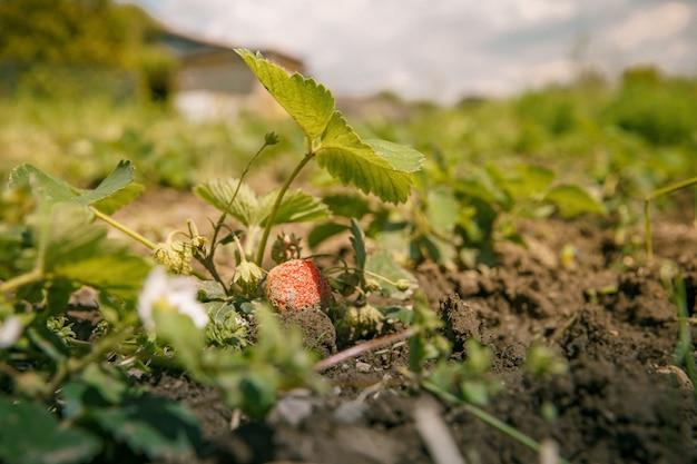 Bloeiende aardbei plant in het veld