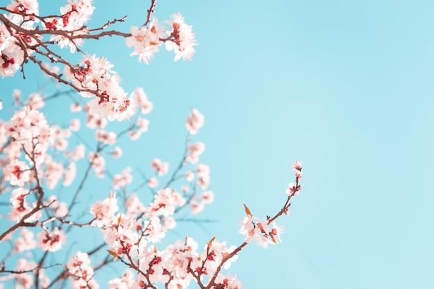 Bloeiende abrikozenboom in de lente op blauwe hemel