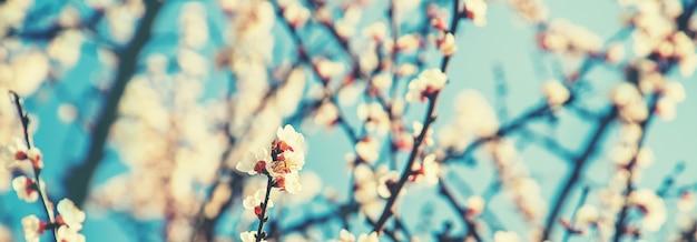 Bloeiende abrikozenboom in de tuin. selectieve aandacht aard.