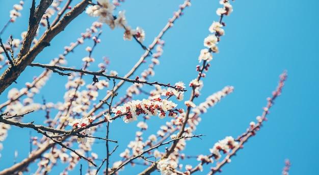 Bloeiende abrikozenboom in de tuin