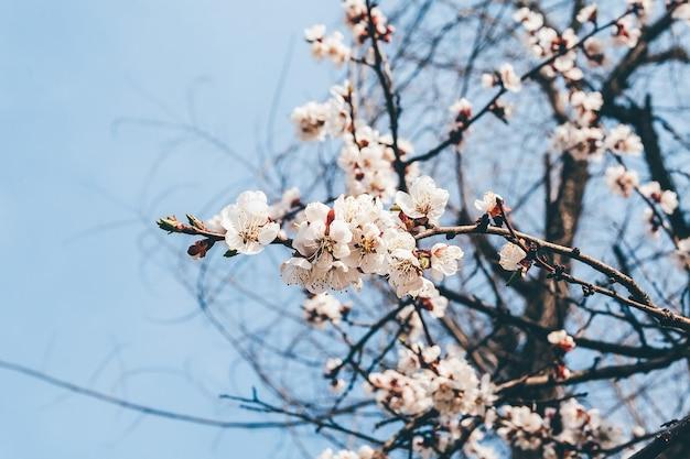 Bloeiende abrikozenboomtakken tegen de blauwe hemel
