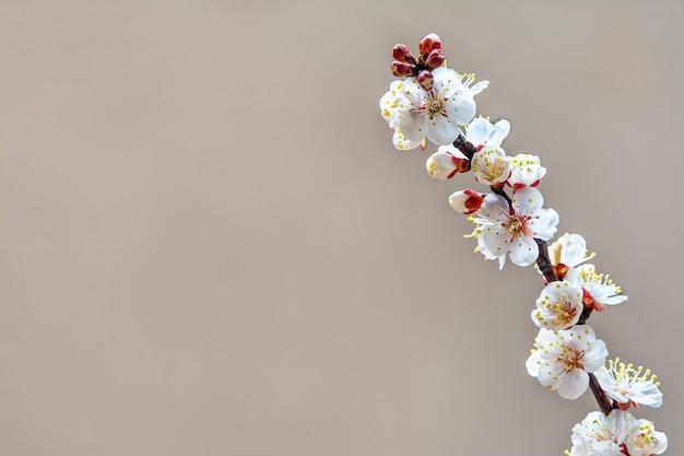 Bloeiende abrikozentak in de lentetuin