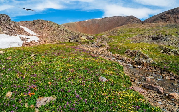 Bloeiende alpenweide. helder bergbeekje stroomt door een groen hooggelegen plateau. pittoresk zomer berglandschap met een rivier.