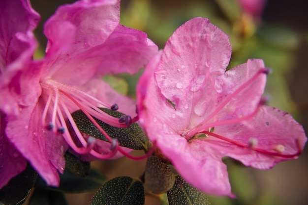Bloeiende amandel roze bloem, close-up, onscherpe achtergrond