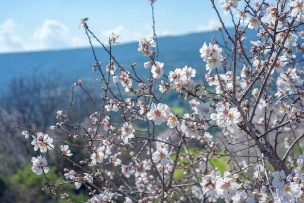 Bloeiende amandelbomen over lente landschap in cyprus