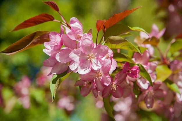Bloeiende appelbomen in de tuin, de bloemen aan de bomen in de lente