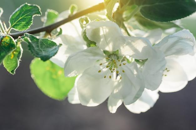 Bloeiende appelbomen in een lentetuin