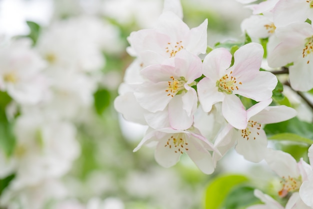 Bloeiende appelbomen in het voorjaar. appelboomtakken met witte bloemen.