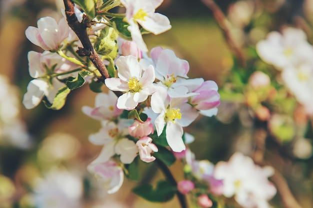 Bloeiende appelbomen in het voorjaar in de tuin. selectieve aandacht. bloemen.