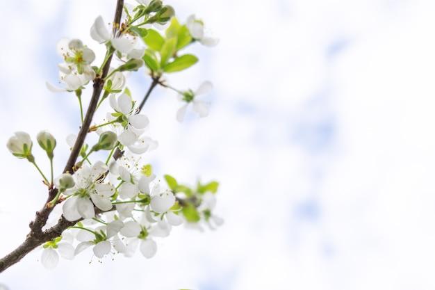 Bloeiende appelboom close-up shot tegen blauwe hemel, kopieer ruimte