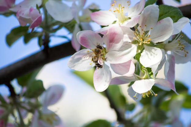 Bloeiende appelboom. de bij op de appelboom,