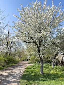 Bloeiende appelboom groeit langs de weg op het platteland.