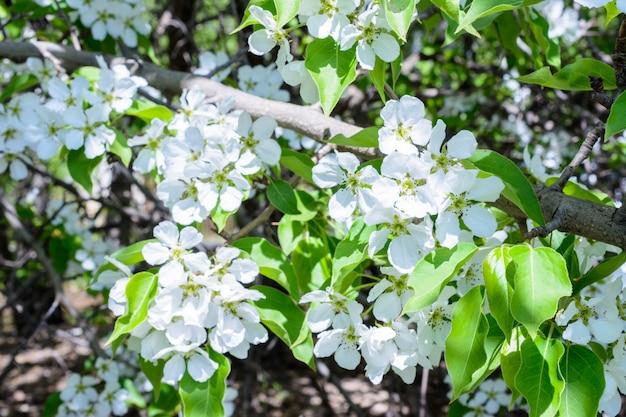 Bloeiende appelboom (malus prunifolia, chinese appel, chinese crabapple) verspreidt het geurige aroma. de appelboom in de volle bloei op het zonlicht. bloemen appelboom close-up. de lente.