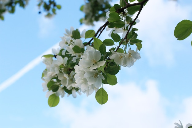 Bloeiende appelboom met helderwitte bloemen in het vroege voorjaar