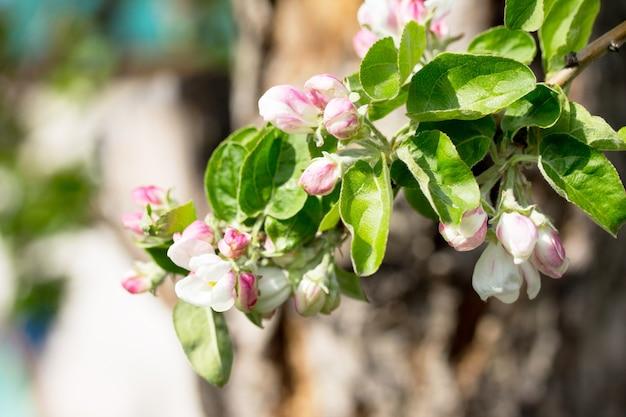 Bloeiende appelboom op de achtergrond van de natuur. lente bloemen. lente achtergrond.