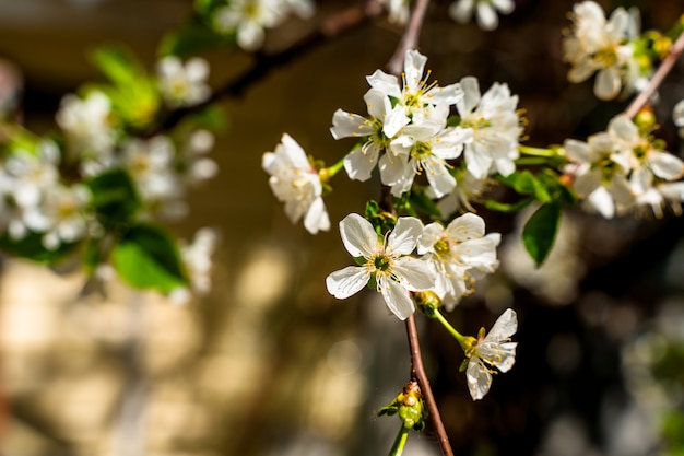 Bloeiende appelboom op wazig groen