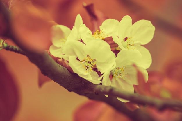 Bloeiende appelboom. vintage kleurcorrectie