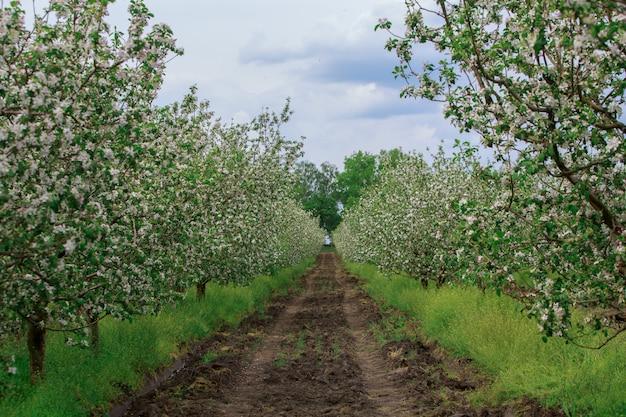 Bloeiende appelboomgaard in het voorjaar buiten in het dorp. jonge appelbomen geplant en groeien in rijen in de tuin buiten de stad. tuinieren. agronomie.