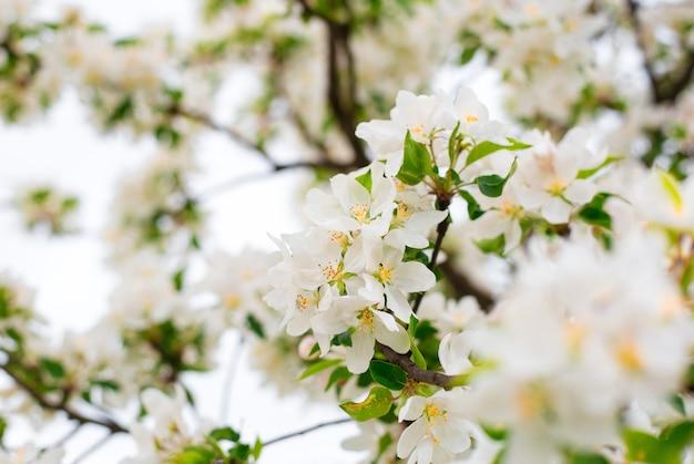 Bloeiende appelboomtakken in de lentetuin. close-up voor witte appel bloemknoppen op een tak. lente concept, florale achtergrond