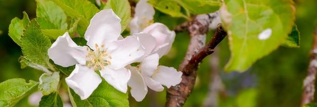 Bloeiende appelboomtakken in lentetuin. sluit voor witte appelbloemknoppen op een tak.