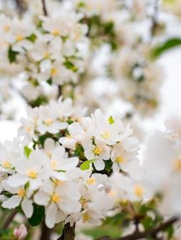 Bloeiende appelboomtakken in lentetuin