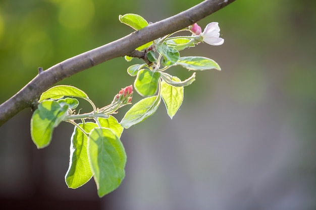 Bloeiende appeltak. witte bloem, roze knoppen en felgroene kleine bladeren