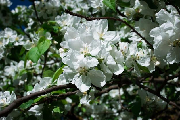 Bloeiende apple tree tegen in het voorjaar