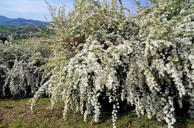 Bloeiende berberis thunbergii 'atropurpurea nana'. japanse berberis.