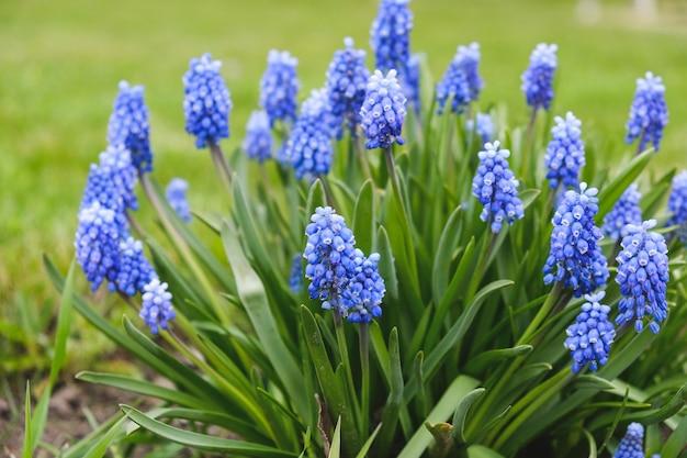 Bloeiende blauwe bloemen van een muizenhyacint in het voorjaar.