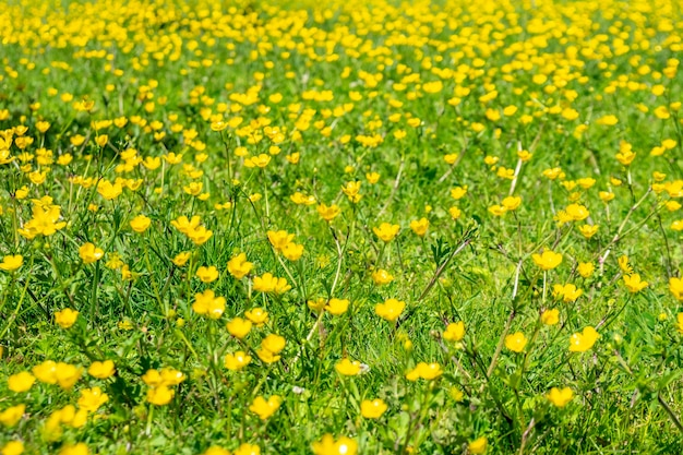 Bloeiende bloem in het voorjaar, boterbloem, ranonkel, ranonkel. natuur
