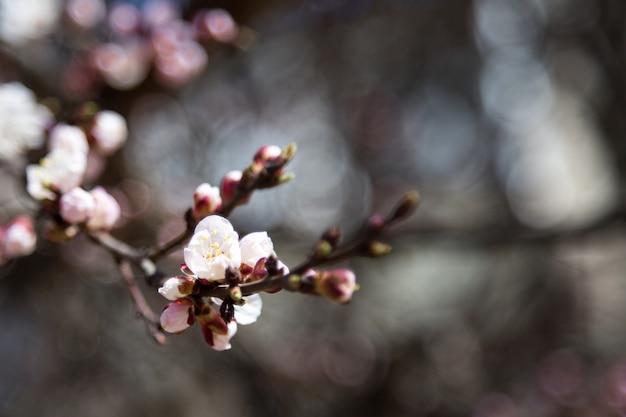 Bloeiende bloemen en veel roze knoppen van abrikoos