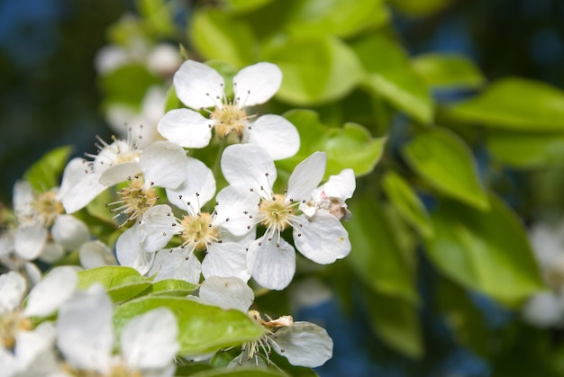 Bloeiende bloemen van appelboom met groene verse bladeren in een zomerdag.