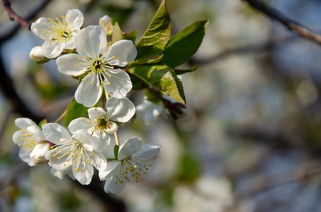 Bloeiende bomen. bee op een witte bloem. tak van een boom met witte bloemen